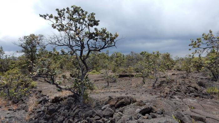 Endangered Ohia Tree forest type on the flanks of Mauna Kea Volcanon on the Big Island