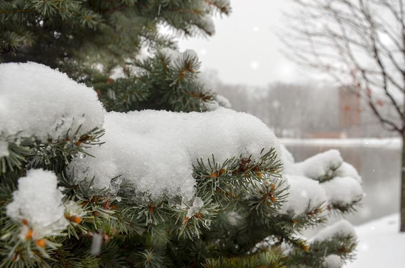 A snow-covered pine with Eve Chapel in the background