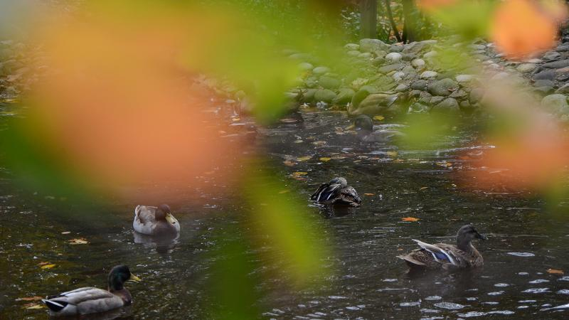 Ducks enjoy a swim in the campus reflecting pond