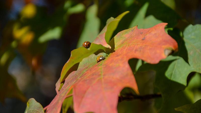A ladybug taking a walk on a leaf
