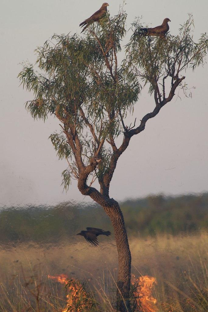 Birds in a tree above a fire, Borroloola, Northern Territory, Australia, 2014.