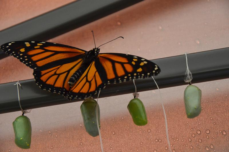 A monarch butterfly rests above several chrysalises waiting to metamorphosize.