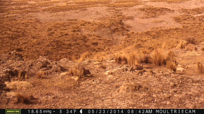 Northern viscacha (Lagidium peruanum) are seen scampering across the high elevation Andean plateau in this camera-trap photo.