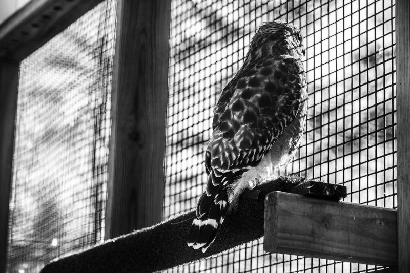 A kestrel at the Raptor Center