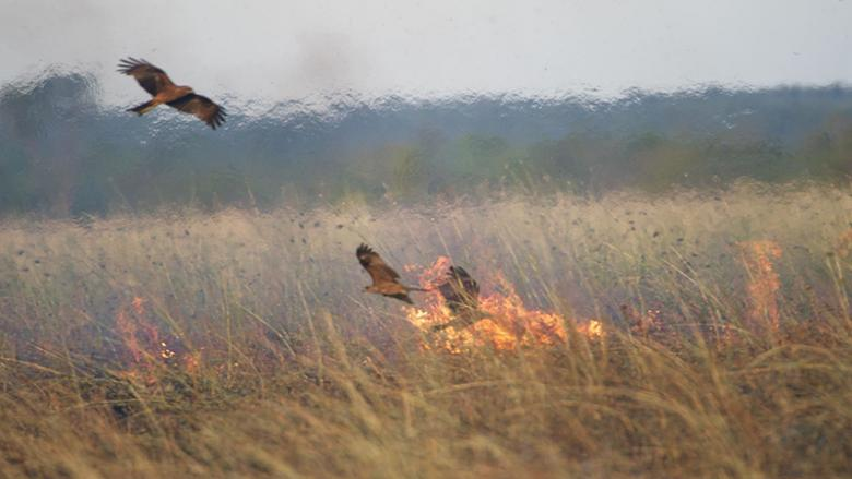 Black Kites at a fire, Borroloola, Northern Territory, Australia, 2014.