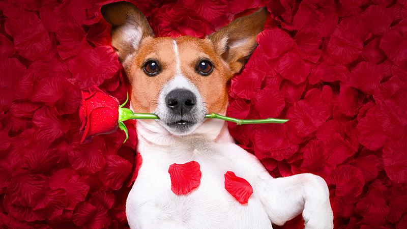 A dog lounging in rose petals